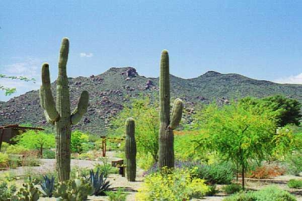 Saguaros with view of Black Mtn